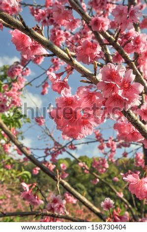 Thai Sakura flower - stock photo