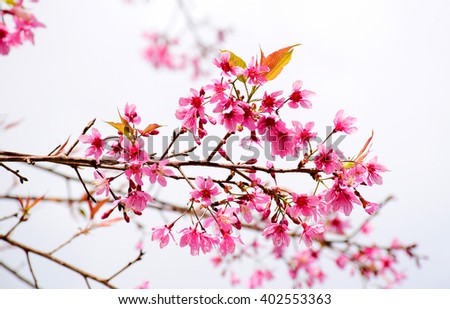 Thai sakura in pink color blooming nature background