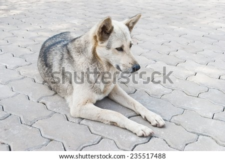 Thai Stray Dog - stock photo