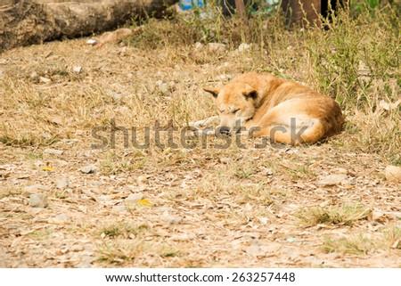 Thai stray dog lying on dirty sandy floor - stock photo