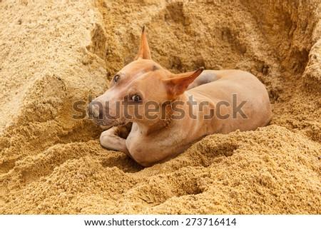 thai stray dog lying on sand floor. - stock photo
