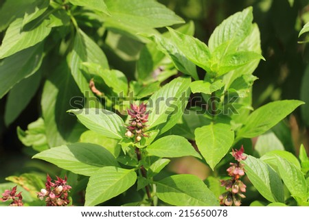 Thai sweet basil with flowers.