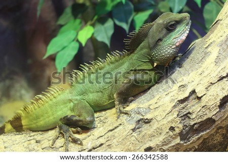 Thai Water Dragon / Physignathus cocincinus - stock photo