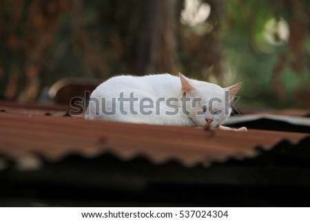 thai white cat on the tin roof
