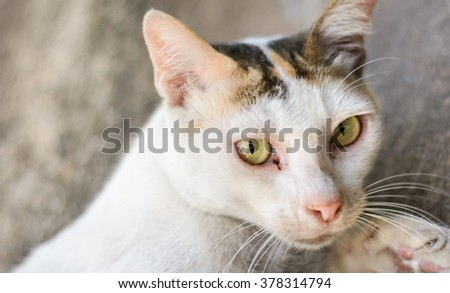 thai white color cat at outdoor natural