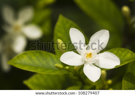 Thai white jasmine flower in the garden