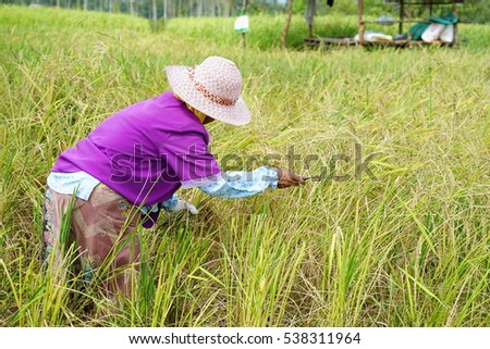 Thai woman muslim farmer keep Germinated Sangyod rice from green field rice in Thailand.