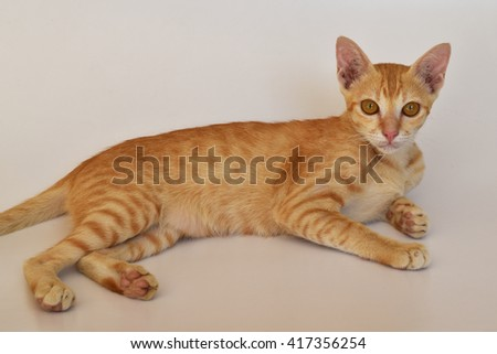 Thai yellow cat lying on white background