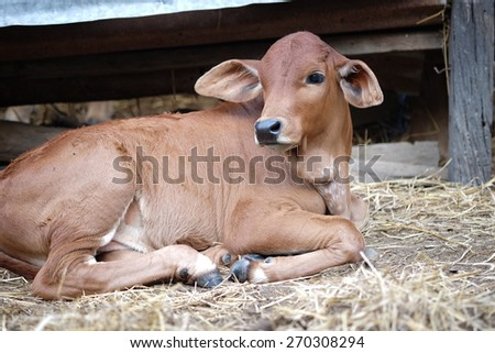 Thai young cow