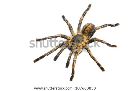 Thai Zebra Tarantula (Haplopelma albostriatum). This tarantula found throughout Thailand lives in burrows, is fast and quick to bite. - stock photo