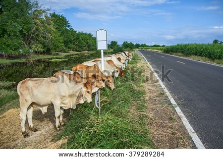 Thailand brahman beef cattle line, red cows, grey cow, live animals on roadside - stock photo