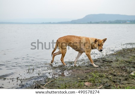 Thailand Brown dog walking on the water.