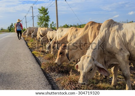 Thailand cattle crowd roadside - stock photo
