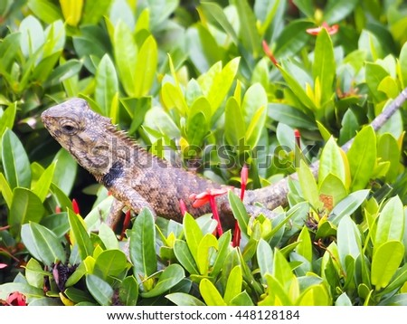 Thailand chameleon hiding on the tops of trees. - stock photo