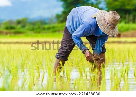 Thailand farmers rice planting working - stock photo