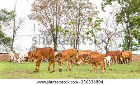 Thailand herds feeding grass, which were few in fields near barren tree. - stock photo