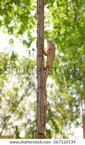 Thailand native lizard on a tree. - stock photo