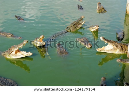Thailand, Pattaya, crocodile farm, crocodiles being fed chicken tied to a rope - stock photo
