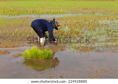 Thailand's rice farmers, which were seedlings into the soil with water. - stock photo