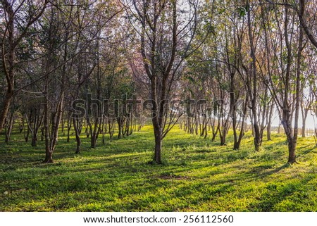 Thailand's sakura or Prunus cerasoides at Phu Lom Lo mountain, Loei , Thailand. - stock photo