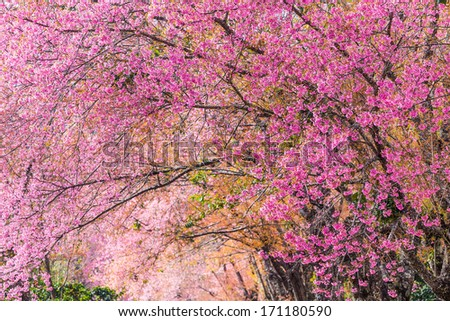 Thailand Sakura pink flower in ChiangMai,Thailand - stock photo