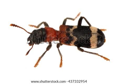 Thanasimus formicarius checkered beetle isolated on white. - stock photo
