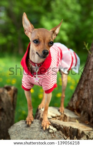 That the Terrier in a beautiful dress on walk in park - stock photo