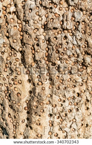 The Acorn Woodpecker bird (Melanerpes formicivorus) makes holes in tree bark to store acorns, leaving a distinctive pattern (texture), in the hills of Monterey, California.
