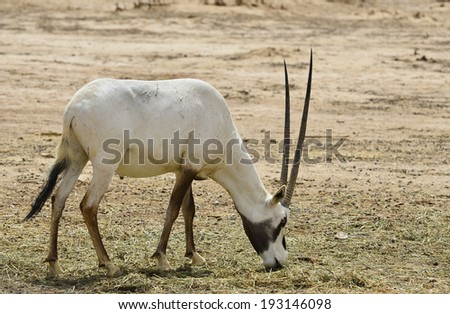 The addax (Addax nasomaculatus), known as the screw-horn antelope, its native areal is the Sahara desert.