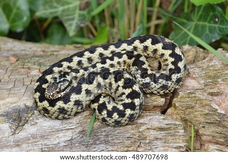 The Adder, or Vipera berus, is the UK's only  poisonous snake. This Adder is just beginning to shed its outer skin.