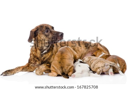 the adult dog feeds the puppies. isolated on white background - stock photo