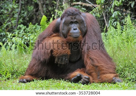 The adult male of the Dominant male orangutan with the signature developed cheek pads that arise ( testosterone surge). Background dark green foliage in the wild nature. Borneo. Indonesia. - stock photo