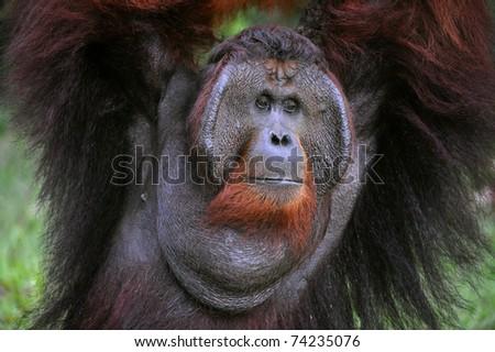 The adult male of the Orangutan. Portrait of the adult male of the orangutan in the wild nature. Island Borneo. Indonesia. - stock photo