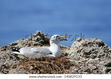 The adult seagull sits on a nest against the sea