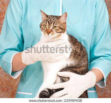 The adult tabby in hands at the veterinarian - stock photo
