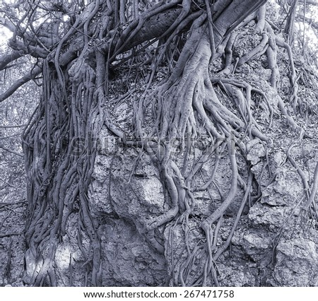 The aerial roots of a banyan tree cling to a coral rock  - stock photo