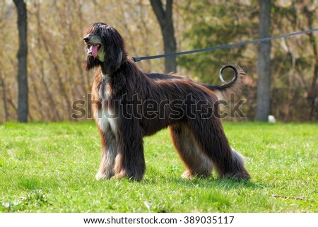 the Afghan hound dog is on the leash in full length
