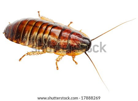 The African big cockroach on a white background