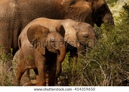 The African bush elephant is the larger of the two species of African elephant. Both it and the African forest elephant have in the past been classified as a single species.