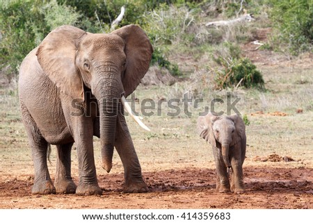 The two species of elephants