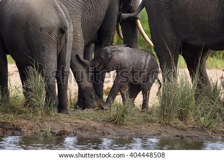 The African bush elephant (Loxodonta africana) baby elephant among legsbetween his mother and aunts - stock photo