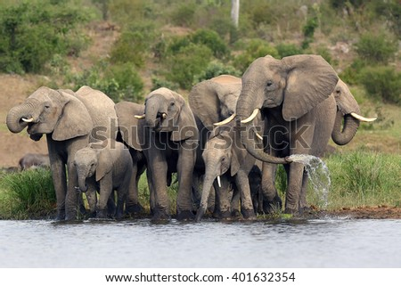 The African bush elephant (Loxodonta africana) group of elephants drinking from a small lagoon - stock photo