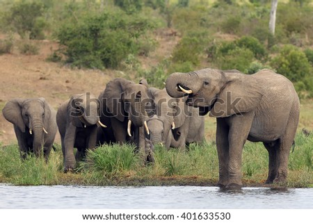 The African bush elephant (Loxodonta africana) ,young male drinking, a group of female elephants with young coming - stock photo