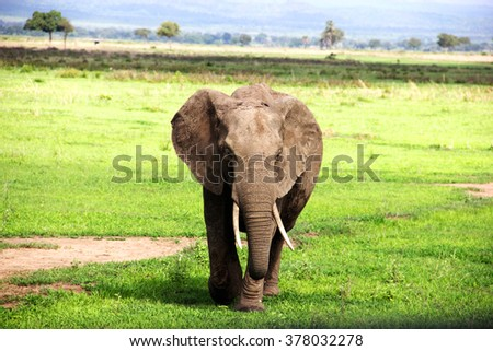 the African elephant - stock photo
