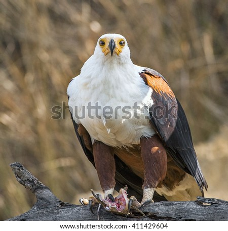 The African Fish Eagle (Haliaeetus vocifer). It is the national bird of Zimbabwe and Zambia. - stock photo