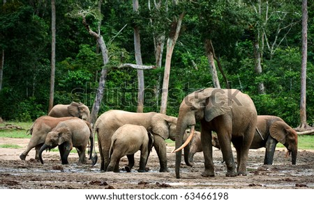 The African Forest Elephant (Loxodonta cyclotis) is a forest dwelling elephant of the Congo Basin. - stock photo