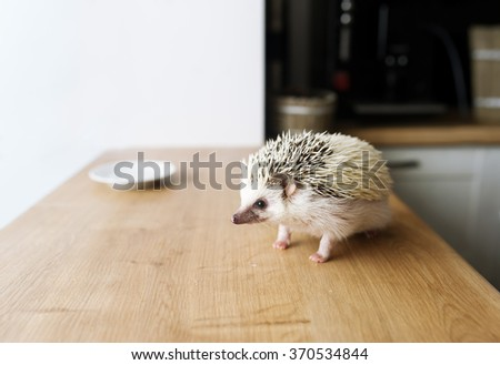 The African hedgehog runs on a wooden table. There is a white saucer. - stock photo