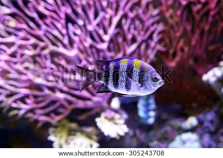 The African Malawi cichlids. Fish of the genus Maylandia estherae - stock photo