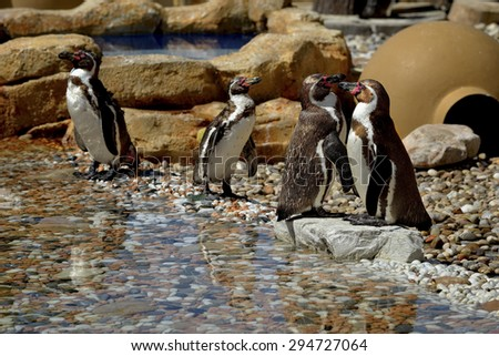The African penguin (Spheniscus demersus), also known as the jackass penguin and black-footed penguin is a species of penguin, confined to southern African waters. - stock photo