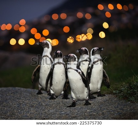 The African penguins in twilight.  (Spheniscus demersus), also known as the jackass penguin and black-footed penguin is a species of penguin.  - stock photo